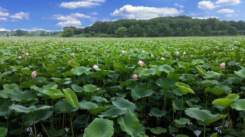 lotus reservoir the rainy season