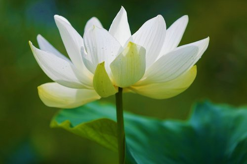 lotus  white smoke  pure