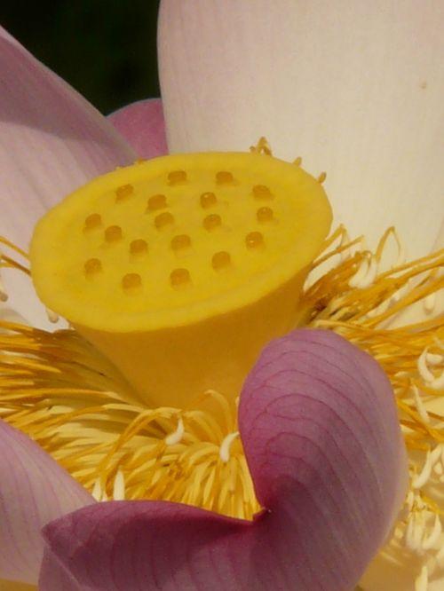 lotus lotus blossom blossom