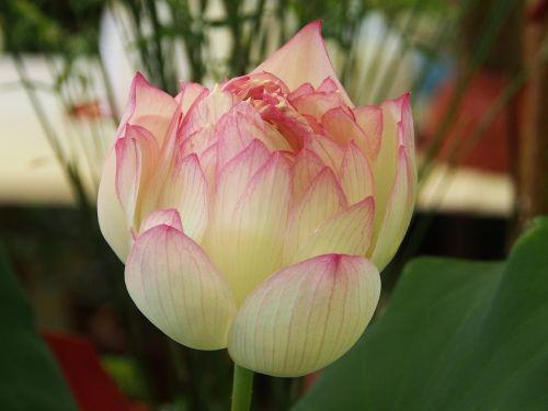 lotus taipei the flower market