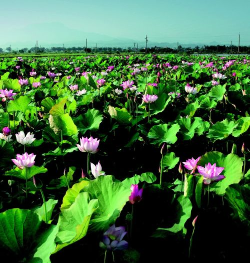 lotus in rural areas china wind