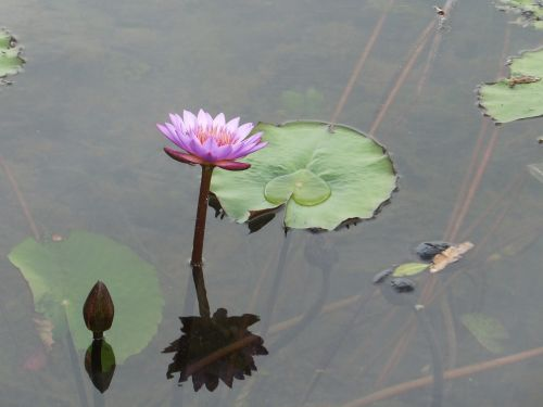 lotus flowers nature