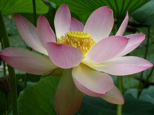 lotus blossom lotus close