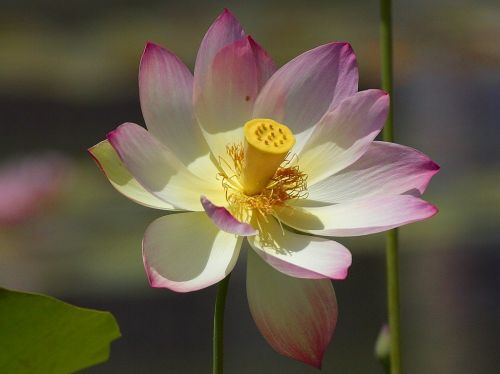 lotus blossom flower nature