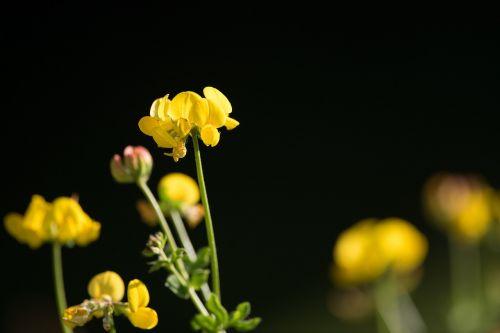 lotus corniculatus fenugreek pointed flower