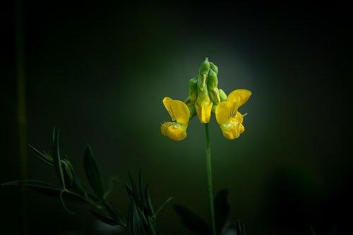 lotus corniculatus  fenugreek  klee