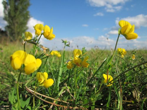 lotus corniculatus birds-foot trefoil birdfoot deervetch