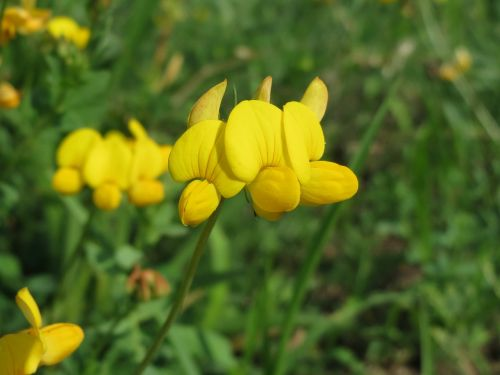 lotus corniculatus common bird's-foot trefoil bird's-foot trefoil