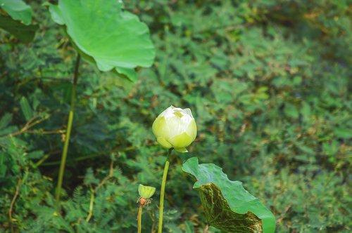 lotus flower  flower  white lotus