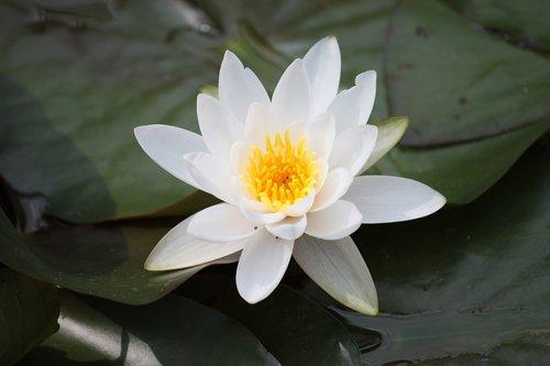 lotus flower  zen  japan