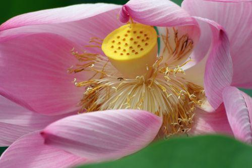 lotuso gėlė,lotosas,rožinis,flora,gėlė,botanika,žydėjimas,žiedlapis,lapai,parkas,augalai,gėlės,botanika,žydėti