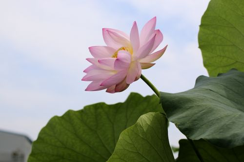 lotus flowers beauty the beauty