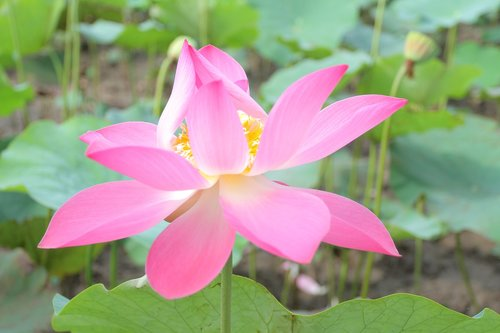 lotus flowers  vietnam  cell sen