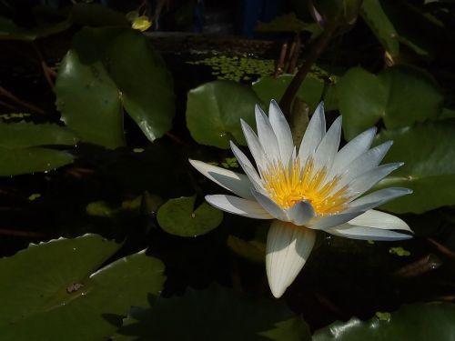 lotus leaf lotus water plants
