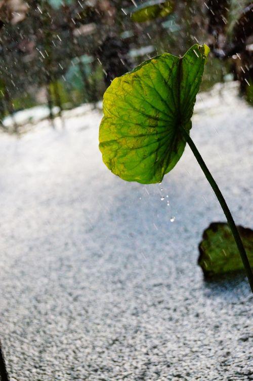 lotus leaf condensation spilled