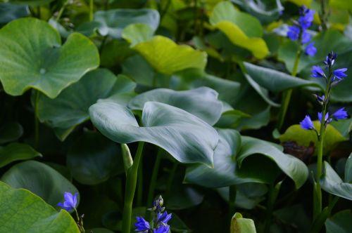 lotus leaf lotus flowers
