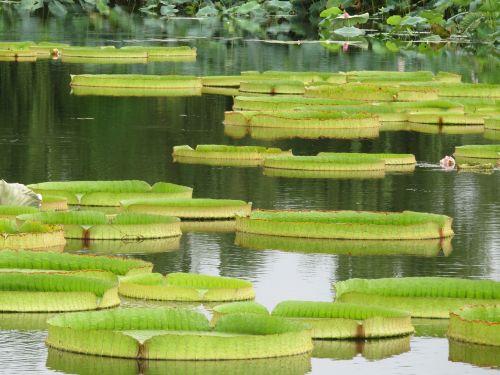 lotus leaf pa lian full of life