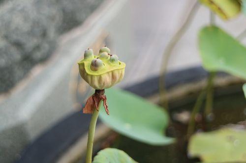 lotus root lotus