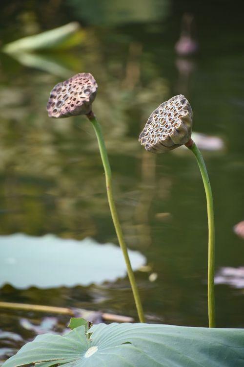 lotus root autumn lotus leaf