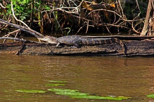 louisiana alligator gator