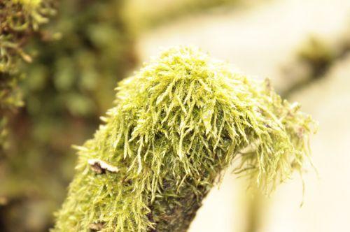 louisiana moss moss tree