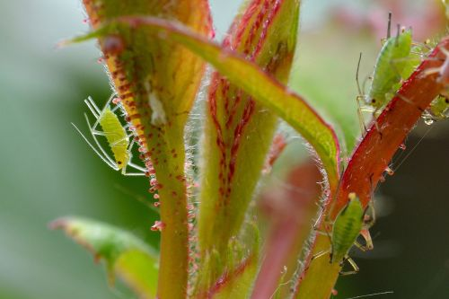 large rose aphids aphids louse