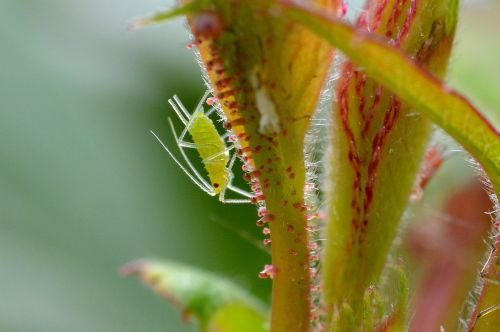 large rose aphid louse aphid