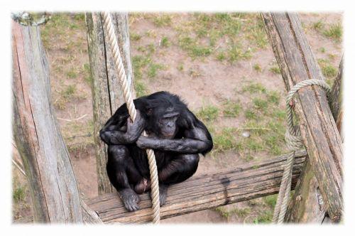 Love Monkeys Bonobos