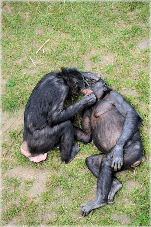 Love Monkeys Bonobos 11