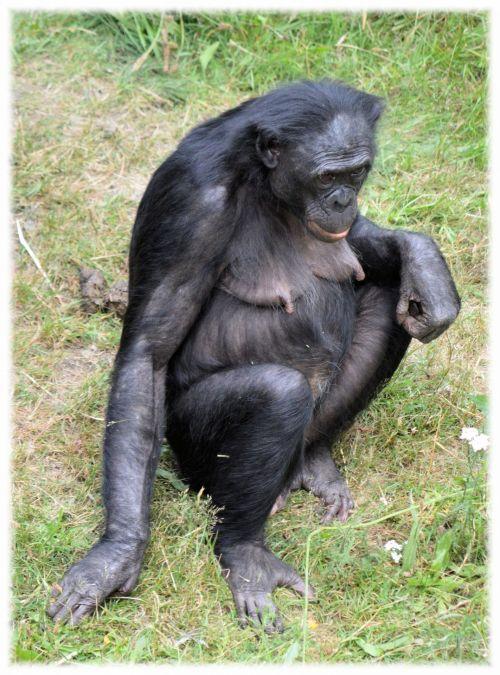 Love Monkeys Bonobos 4
