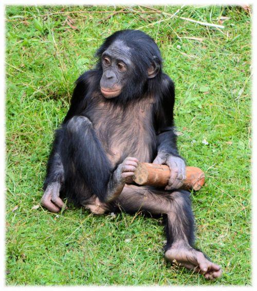 Love Monkeys Bonobos 5