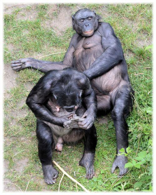 Love Monkeys Bonobos 6