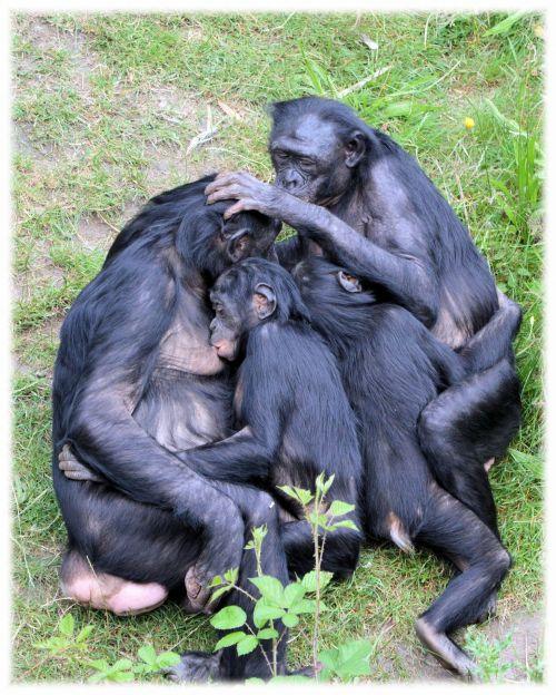 Love Monkeys Bonobos 7