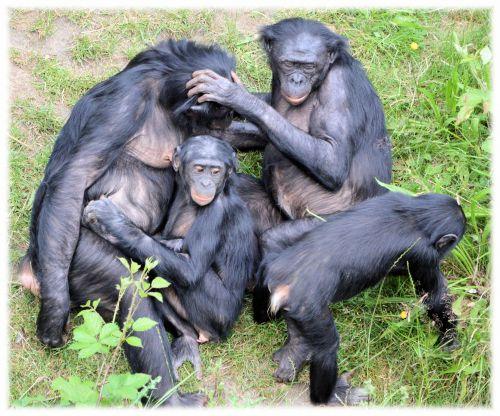 Love Monkeys Bonobos 8