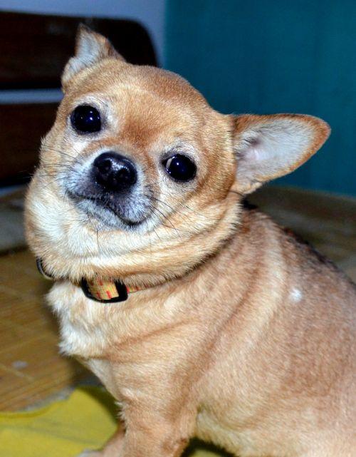 Lovable Chihuahua