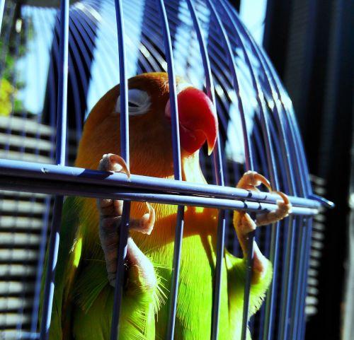 lovebird green bird