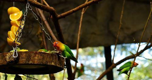 lovebirds bird parrot