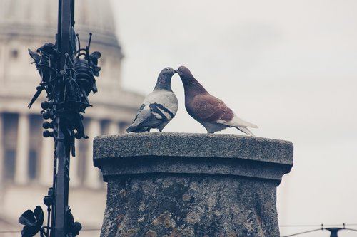 lovebirds  pigeons  pair