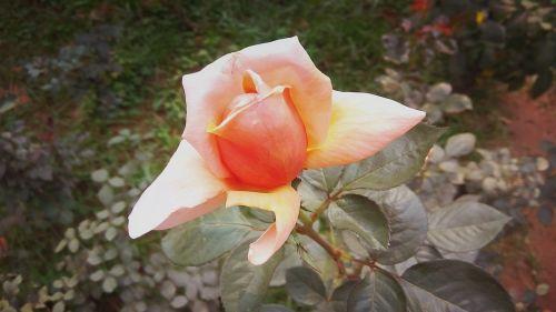 lovely rose flower