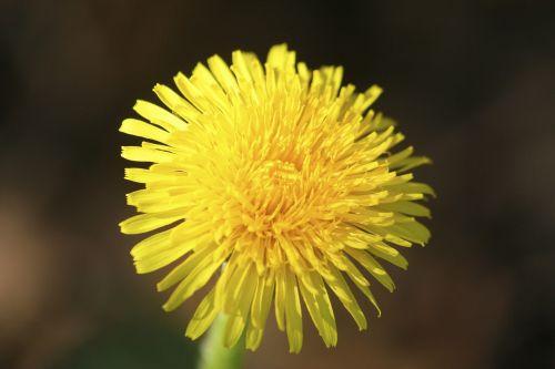 lövenzahn dandelion meadow