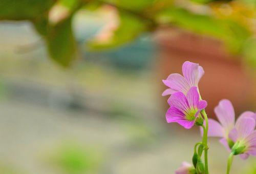 lu bian floret pink wild