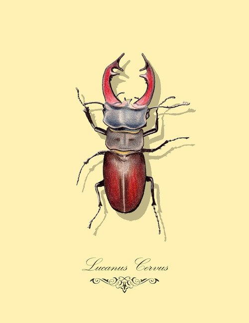 lucanus cervus  stag beetle  drawing