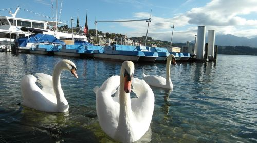 lucerne lake lucerne region swans