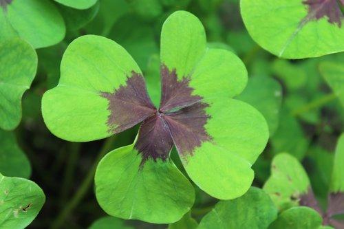 luck  four leaf clover  lucky clover