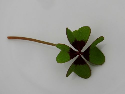 lucky clover four leaf clover vierblättrig