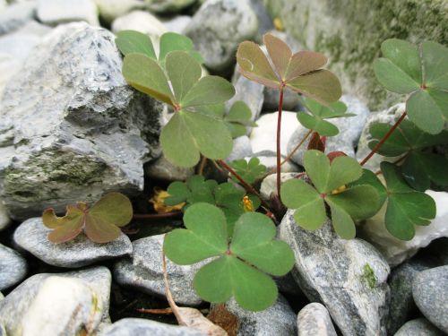 lucky clover green leaves