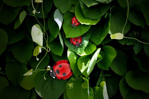 lucky ladybug,grüne,leaves,luck,ladybug,beetle,lucky charm,nature,insect,3d model,rendering,raydiosity,animation,graphic,ladybird,background,computer animation,reflection,texture,3d,greeting card,new year's day,tiny