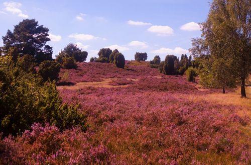 meadow pink herb
