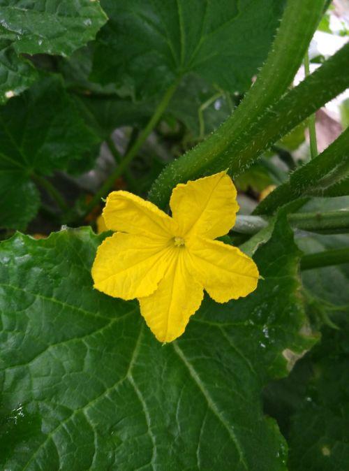luffa cylindrica farmhouse flowering