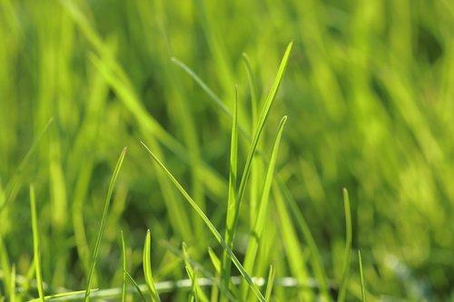 luminous meadow  rush  grass